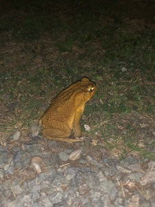 CaneToad